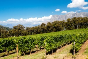 Weinanbau in Südafrika