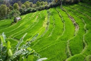 Traditioneller Reisanbau auf Bali