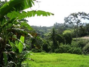 Primärwald auf Bali