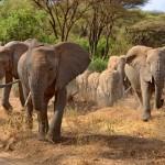 Elefanten in Afrika