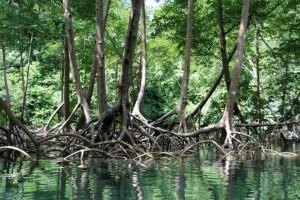 Mangroven auf Puerto Rico