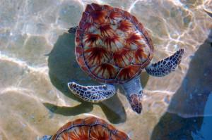 Schildkröten in der Karibik